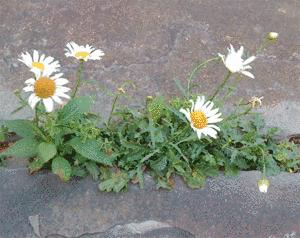 plantes sauvages de la rue